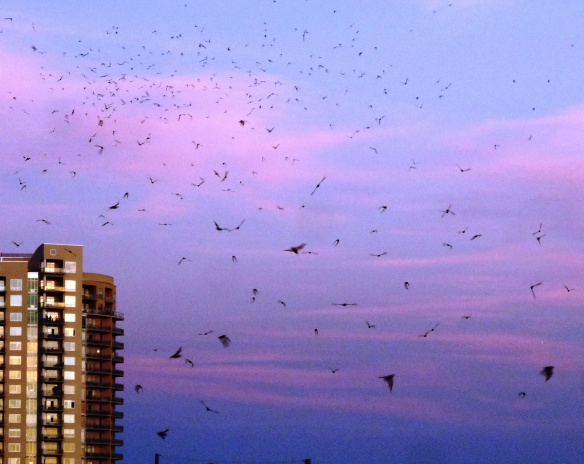 Bats heading east from Congress Avenue Bridge at sunset.